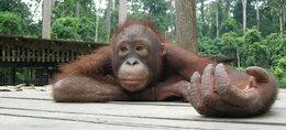 an orangutan in the Sepilok Orangutan Rehabilitation Centre