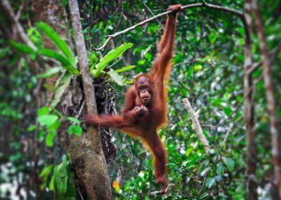 Orangutan hanging on tree in the Malaysian Rainforest in Borneo