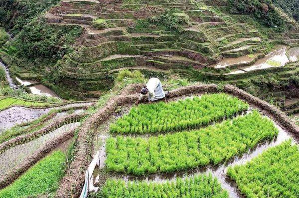 Farmer working in Banaue Rice Terraces