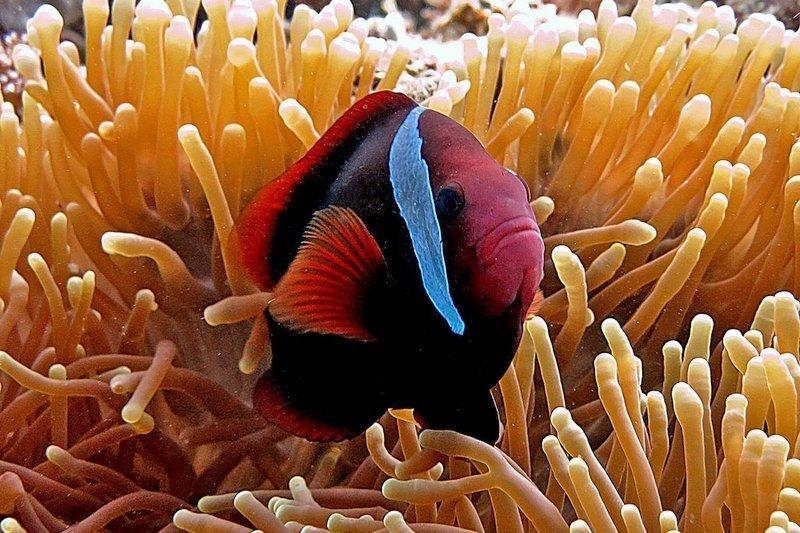clown fish in the anemone in Cebu