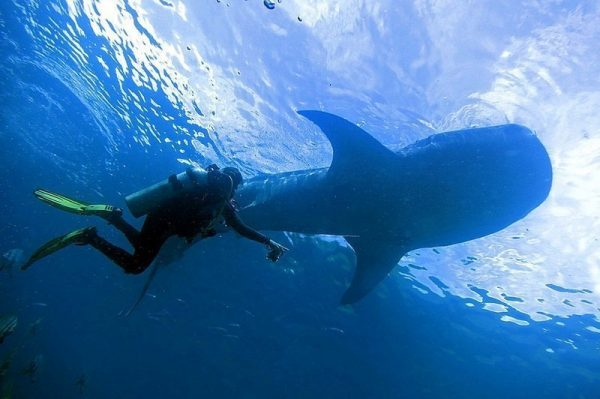 A diver swimming under a whale shark in Olsob