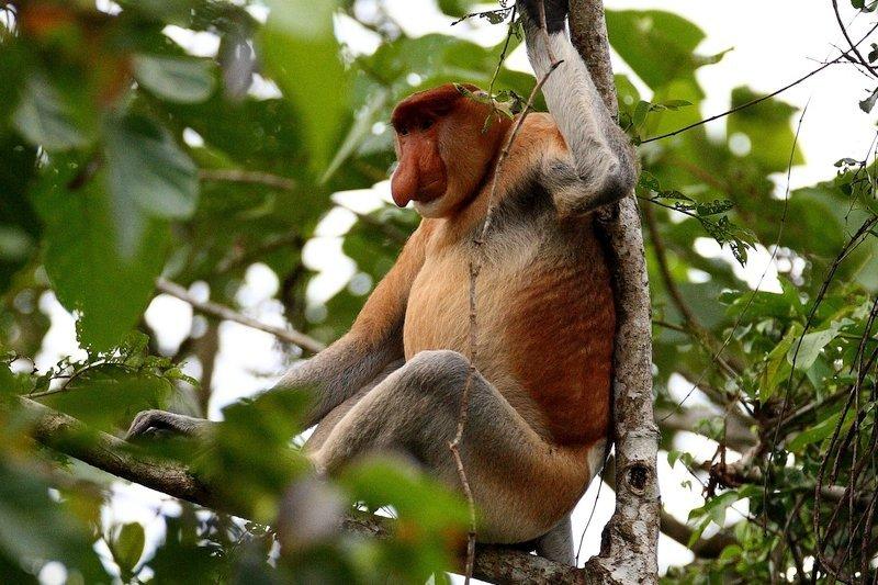 Proboscis monkey Kinabatangan River