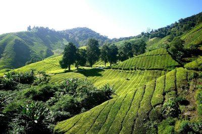 Panoramic view of Cameron Highlands' Tea Plantation