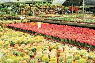 Different species of Cactus at the Cameron Highlands' Cactus Farm