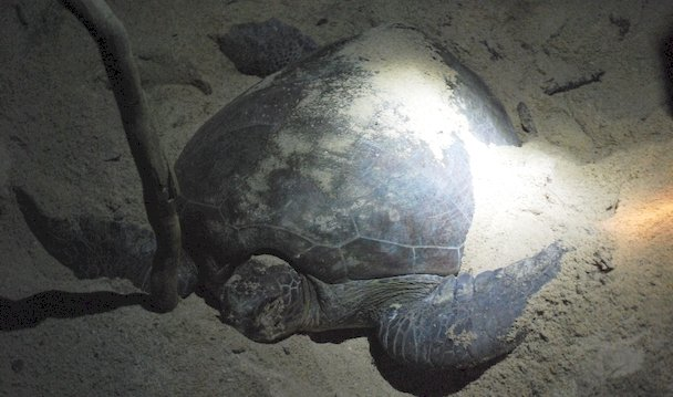 Green turtle laying the eggs at night on a beach in Selingan Island