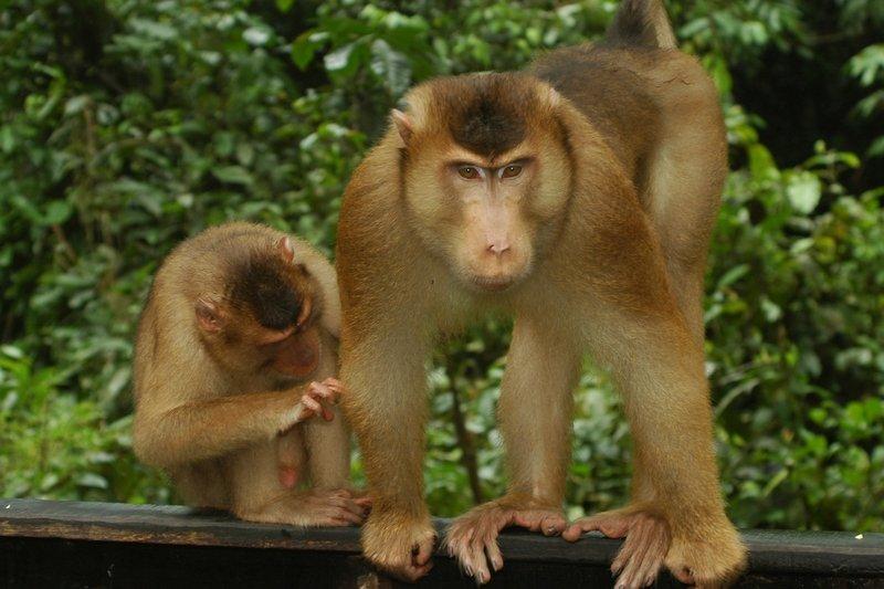 Pig-tailed macaques grooming in Sepilok Orangutan Rehabilitation Centre