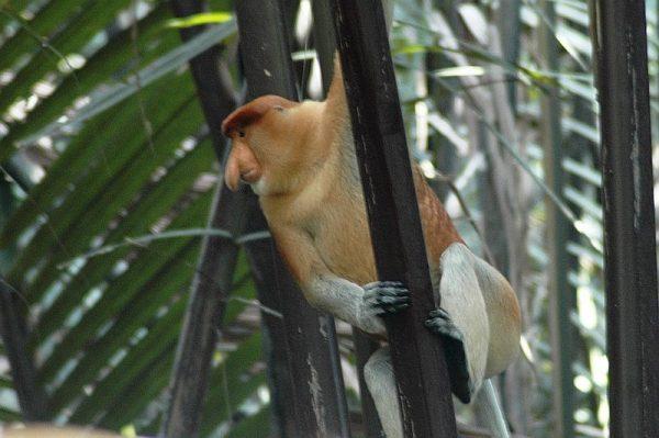 A male Proboscis Monkey on a tee along the Kinabatangan River