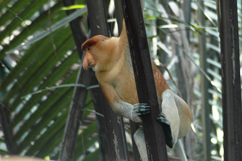 A male Proboscis Monkey on a tee along the Kinabatangan River
