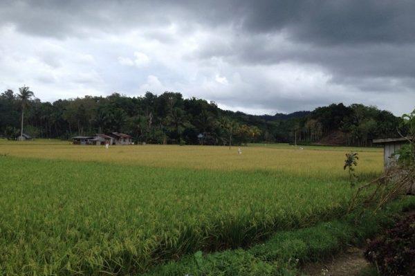 Rice Fields Greenery Landscape in Bohol Island