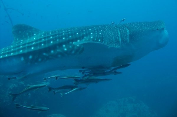 A whale shark spotted in Donsol