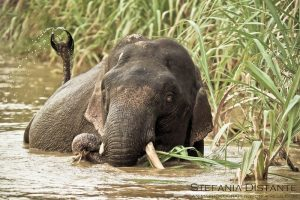 Elephant taking a bath in the Kinabatangan River
