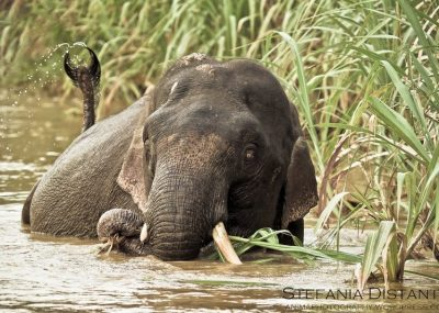 Elephant taking a bath in the Kinabatangan River