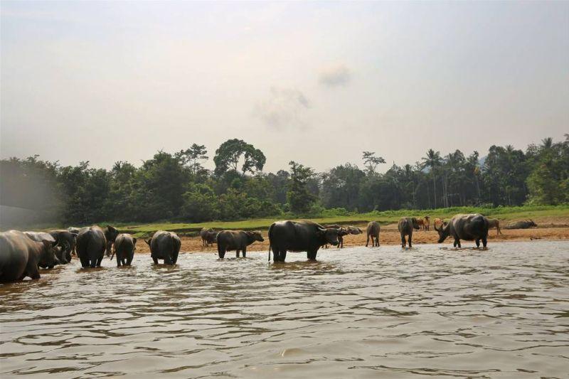 Water Buffalos cooling down in Taman Negara's river