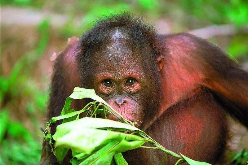 A wild orangutan in the lowland forest of Borneo