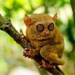 A cute tarsier on a tree in the Philippine Tarsier Sanctuary