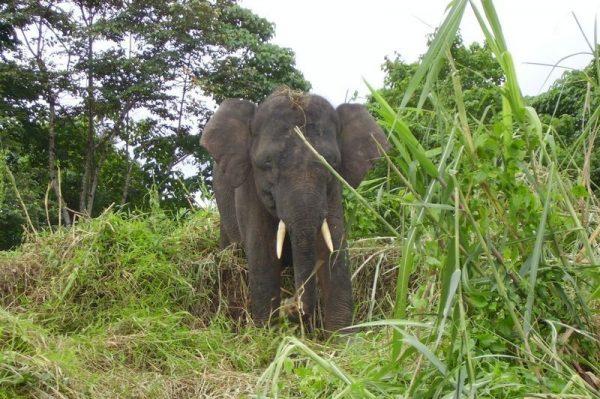A Lone Elephant spotted on a wildlife safari along the Kinabatangan River