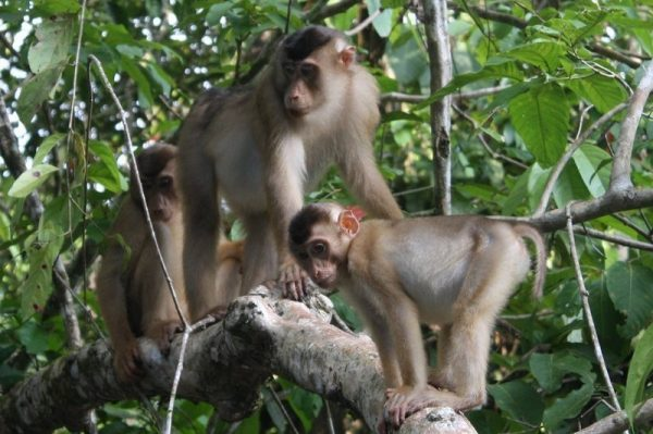 A group of Pig-tailed macaques spotted during a safari on the Borneo's lowland forest
