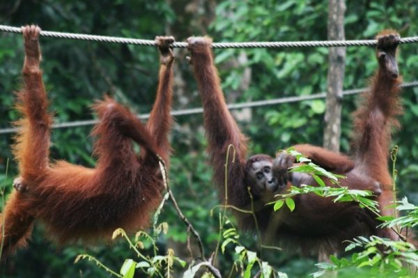 Captive Orangutans hanging on a rope at the Sepilok Orangutan Rehabilitation Centre