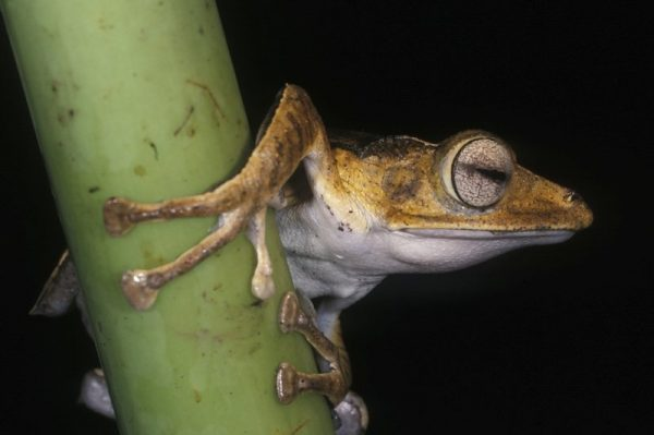 A frog in Borneo's lowland forest spotted during a night safari