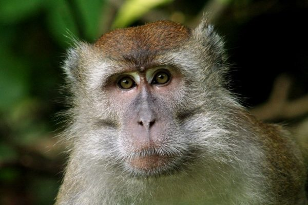 A Long-tailed macaque in the lowland forest in Borneo