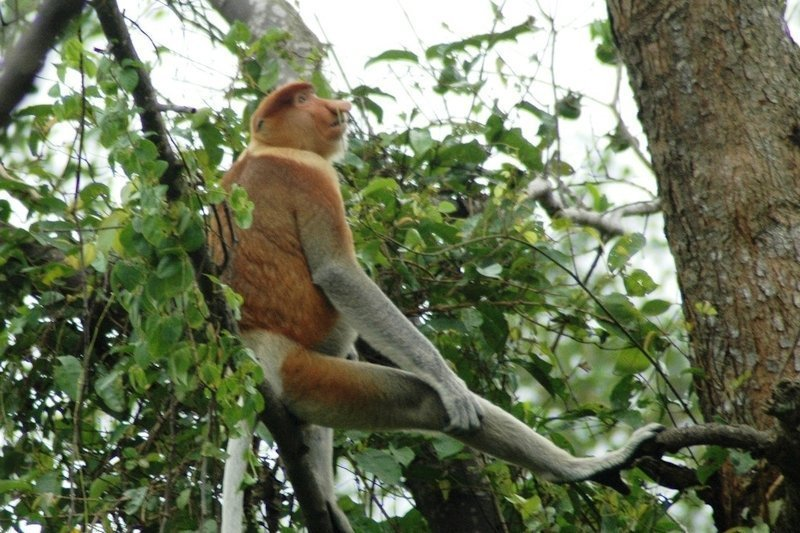 A Proboscis Monkey on the riverbank of Kinabatangan River