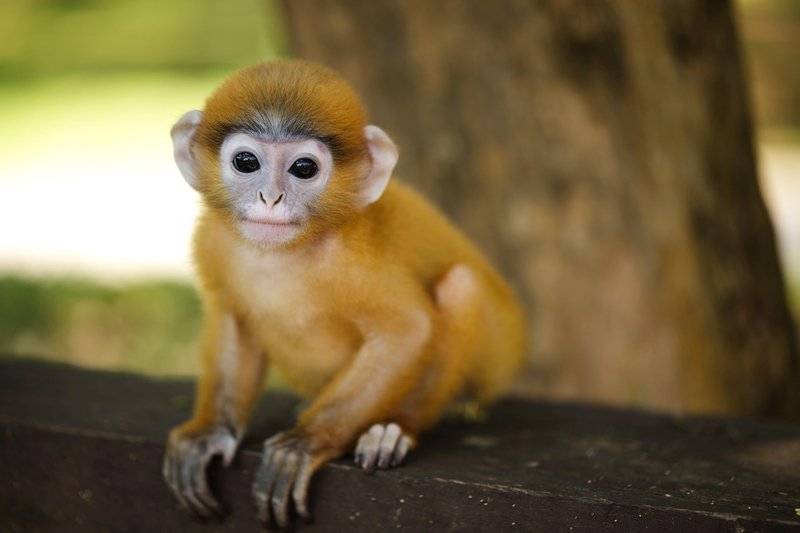 A Red young Langur Monkey in the lowland forest in Borneo