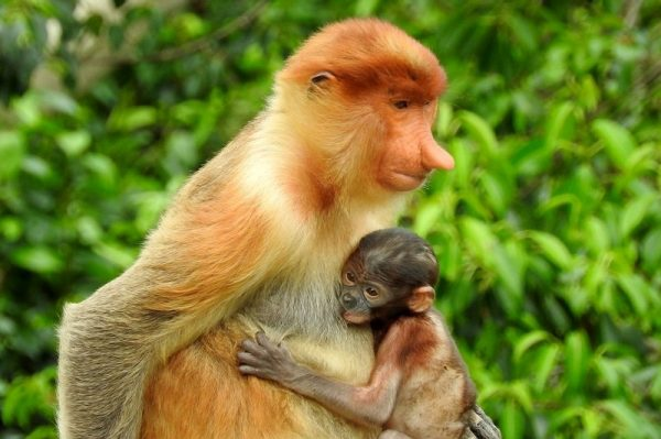 A female Proboscis Monkey with a baby in the forest of Kinabatangan River