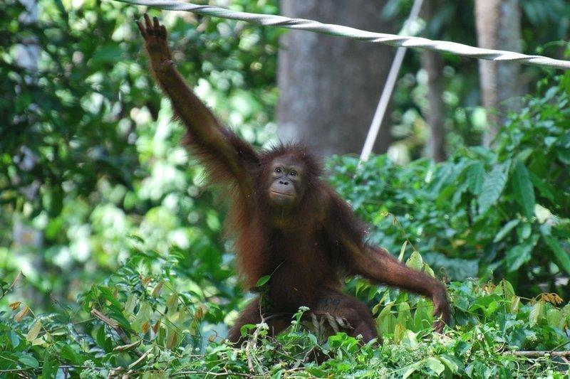Captive Orangutan in the forest of Sepilok Orangutan Rehabilitation Centre