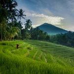 Rice Fields Greenery Landscape in Bali Island