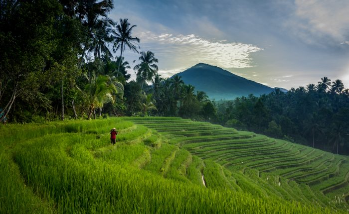 Rice Fields Greenery Landscape in Bali Island
