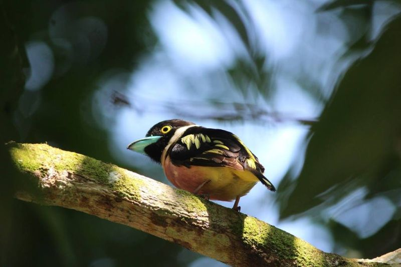 A colorful bird in Taman Negara National Park