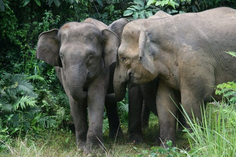A group of elephants in Danum Valley's lowland forest