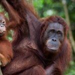 An orangutan with baby in the Borneo's rainforest