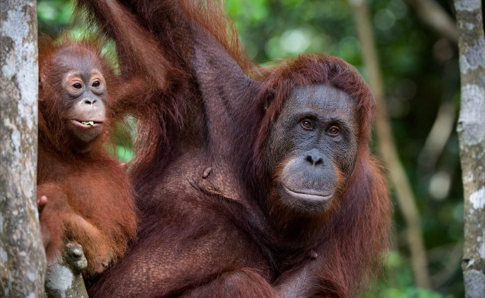An orangutan with baby in the Borneo's rainforest