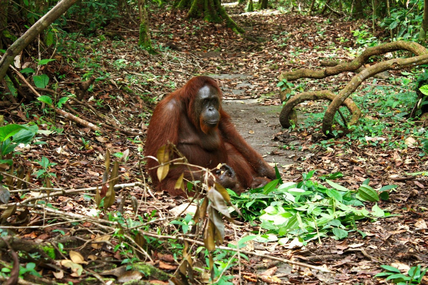 Orangutan in the lowland rainforest of Kalimantan