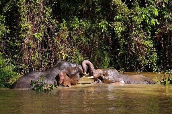 Elephants spotted during a Wildlife Safari in Sukau, on the Kinabatangan River.