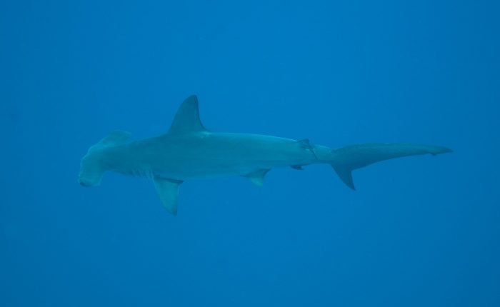 Hammerhead Shark swimming in Layang Layang's deep waters