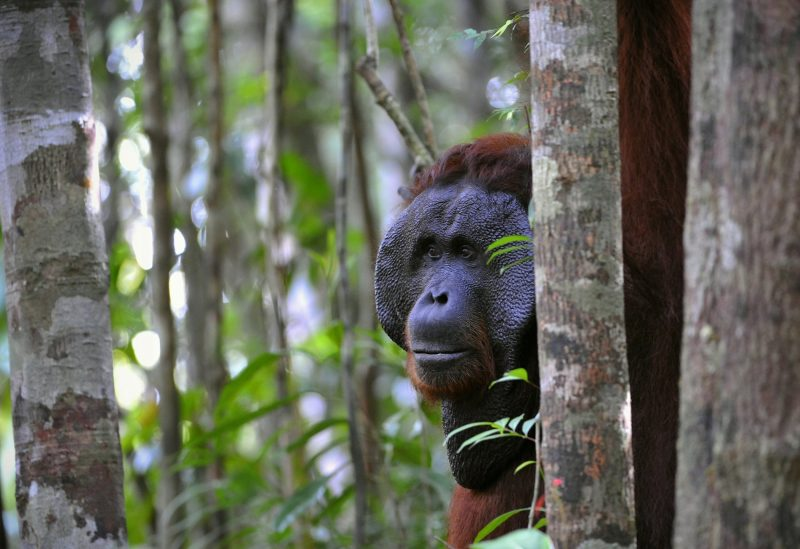 Wild Orangutan hiding behind a tree in Borneo's rainforest