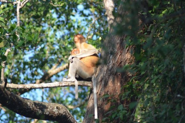 A female Proboscis Monkey with a baby in the low land forest of Kinabatangan River