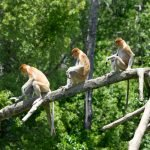 A group of Proboscis Monkeys on a tree in Kinabatangan River