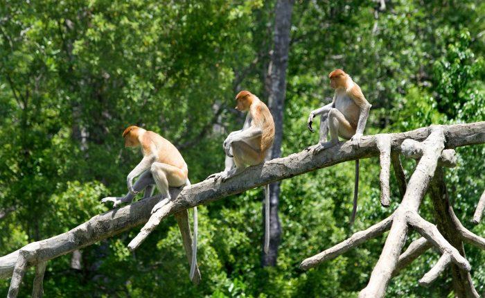 A group of Proboscis Monkeys on a tree in Kinabatangan River