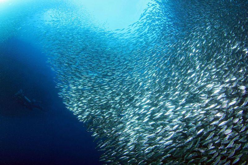 Sardine Run just off the shore of Moalboal on Cebu Island.